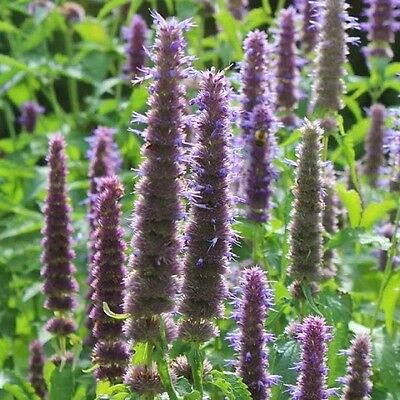 Agastache rugosa 'Liquorice Blue' / Anise Hyssop / Hardy Perennial / 100 Seeds