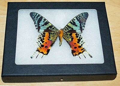 Real Framed Mounted Butterfly in a 4x5 Riker Mount, Urania Ripheus, sunset moth