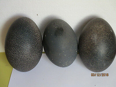 Out Of A Shed-3 Emu Eggs Free Postage