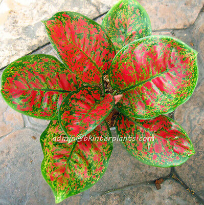 """NEW AGLAONEMA Nice Form """"Full of Gold"""" Beautiful +Free Phyto RARE Don't miss@@"""