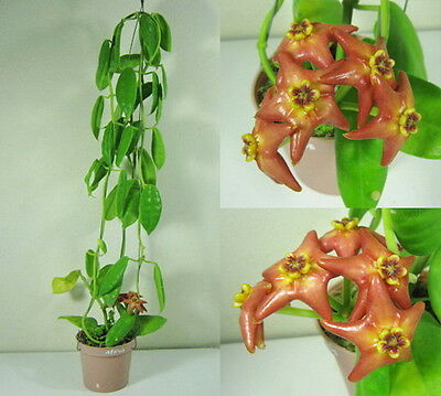 HOYA AFFINIS Blooming Size, 15 Inches Healthy Mature Plant, Rare, New