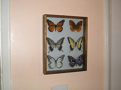 Framed Collection of 6 foreign butterflies