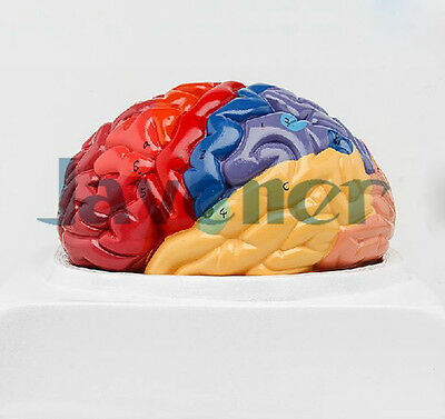 Human Anatomical Brain Function Area Dissection Medical Organ Teaching Model