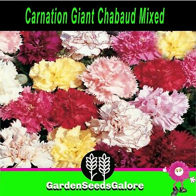 "Carnation ""Giant Chabaud Mixed"" 200 flower seeds cutflower fragrant cottage"