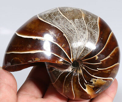 562g Awesome Nautilus Fossils Natural Ammonite Specimen from Madagascar