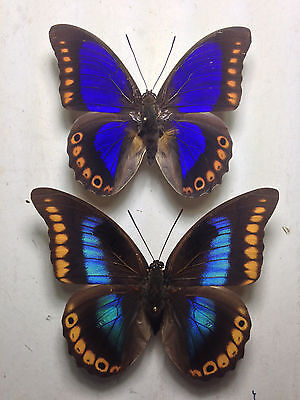 Prepona Brooksiana Pair In A1