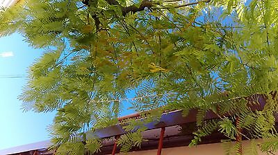 Mimosa 5 SEEDS Beautiful leaves Flower spectacular Pictures, Own Reais .2016