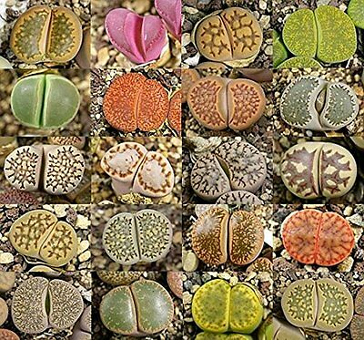 Lithops mixed species - bulk pack of 1000 seeds