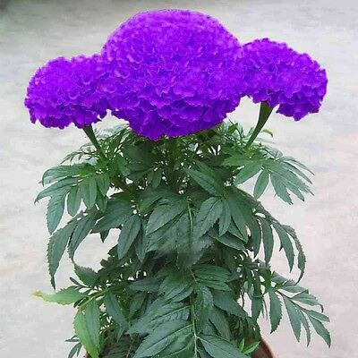100 Pcs Beautiful Purple Blue Marigold Seeds Home Garden Flower Plant Seed Hot