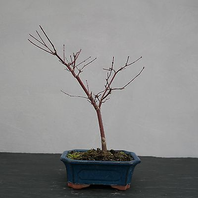 acer palmatum beni maiko in 7cm pot ideal bonsai subject. Black Bedroom Furniture Sets. Home Design Ideas