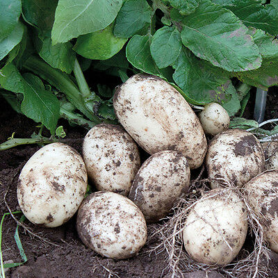 First Early Multiple Quantity Scottish Seed Potatoes