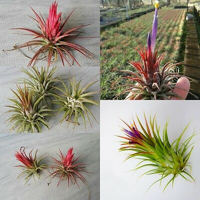 5 Pack Assorted Tillandsia Fuego Exotic Tropical Hanging Lot Easy Air Plants