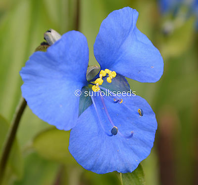 Commelina Dianthifolia  20 seeds Stunning Electric Blue Flowers - perennial