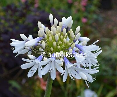 Agapanthus African Lily - 50 seeds from a mix of plants