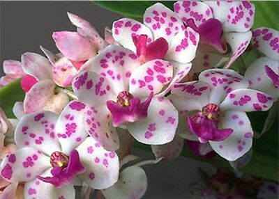 Orchid white with purple spot. Young plant. FREE WORLD POST.