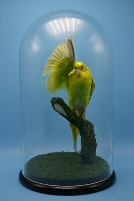 taxidermy of green Budgerigar mounted in big glass dome free P&P special gift c#
