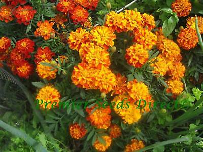 Organic Flower French Marigold Sparky Mix 1 Gram 360 Flower Seeds
