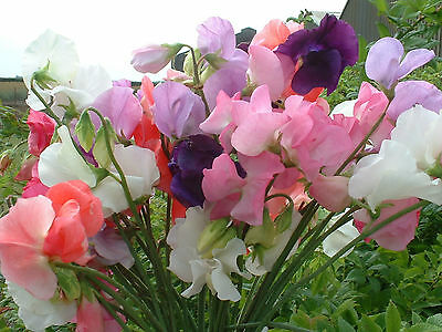 Organic Flower Sweet Pea Mammoth Mix 400 Flower Seeds Bulk