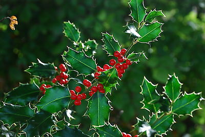 English Holly - Ilex Aquifolium - 50 seeds - Christmas Berries - Ornamental