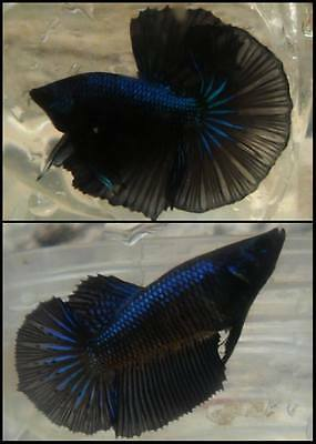 Black Orchid Halfmoon Betta Pair