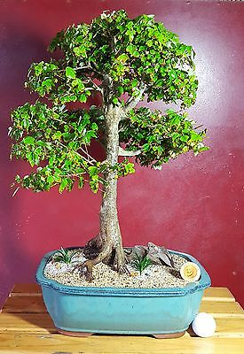 Bonsai - Small Leafed Trident Maple