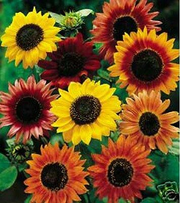 Sunflower- Autumn Beauty Mix- 100 Seeds - 50 % off sale