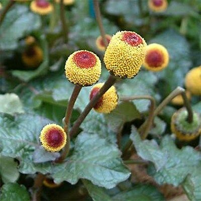Toothache Plant- 100 Seeds - 50 % off sale