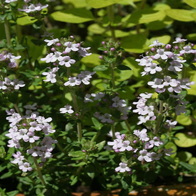 6 Common Compact Thyme plug plants *New pack*