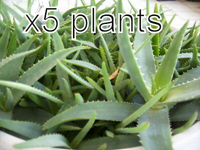 5 Aloe Vera Plants Seeds Trees Organic Plants Bare Root 5-6 Inches from our farm