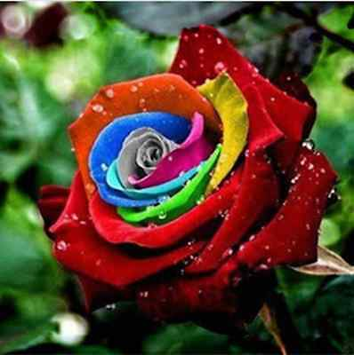 200Pcs Rainbow Rose Seeds Rare Flower Perennial Potted Rose Plant Seeds DIY Gard