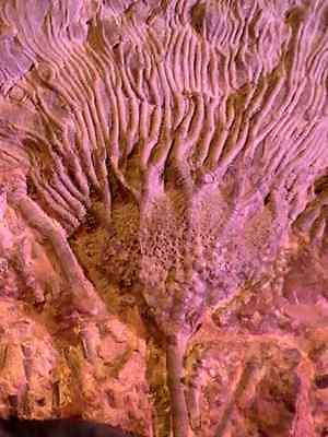 """HIGHLY DETAILED  CRINOID """"Sea Lily""""  SHOW SLAB  Fossil  X-LARGE 12.5""""   10"""""""
