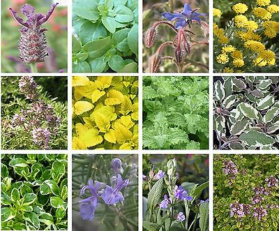 Pick 'n' Mix Herb Plug Plants - large selection of 4cm by 3cm plugs