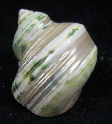 Pearl Polished Banded Turbo Sea Shell Seashell 2 to 2 1/2 Inches Hermit Crab