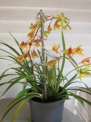 Large Orchid Plant in Pot