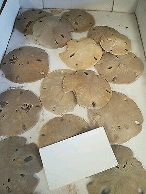 Fossil Sand Dollar Encope from Morocco