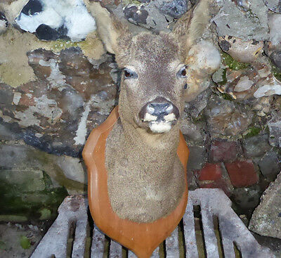 Taxidermy Roe Deer Stag Buck Head Professionally Mounted Trophy