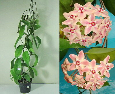 HOYA SUBCALVA Blooming Size, 15 Inches Healthy Mature Plant, Rare, New