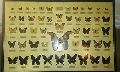 50 Vintage Taiwan Real Butterfly Wing Specimen Collection Framed Display Rare