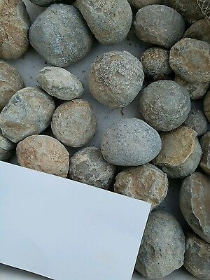 Echinoid Sea Urchin Bulk Fossils from Morocco by the Pound Wholesale lot