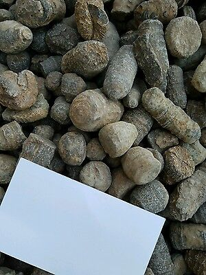 Coral Bulk Fossils from Morocco by the Pound Wholesale lot