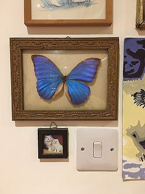 Vintage Butterfly In A Frame Taxidermy