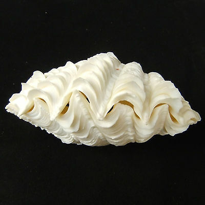 1 Pair Tridacna Squamosa Fluted Giant Scaly Clam Seashell 15.5cm Free Ship 295l