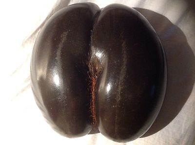 Large Coco de Mer With Hair 26cm X 24cm Wide, Circumference 63.5cm
