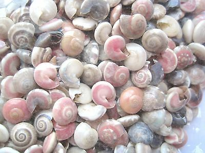 30 x NATURAL PINK GREY TONES Round SEASHELLS for Craft 8mm to 10mm Sea Shells