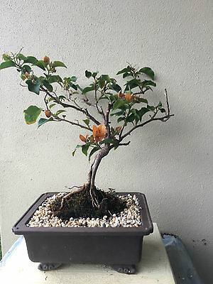 orange bougainvillea bonsai - perfect for valentines day!