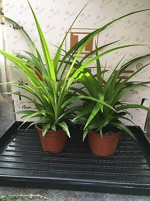 2x Spider Plant. Green. House Plant