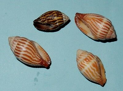 Philippines Sea Shells - MITRIDAE - Mitra retusa - Set of 4  -F+/++ - #5626