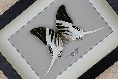 Graphium androcles ( male ) real framed butterfly insect taxidermy