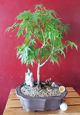 Bonsai - Japanese Maple