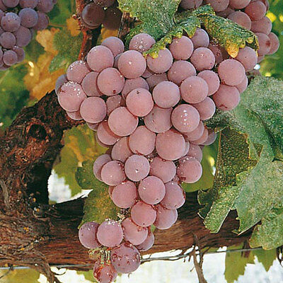 5 Reliance Seedless Grape Vine Cuttings - ready to root